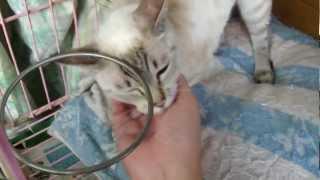 我的家貓 牛奶18歲了  很撒嬌 會叫媽~~~ thumbnail