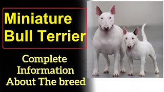 Miniature Bull Terrier. Pros and Cons, Price, How to choose, Facts, Care, History