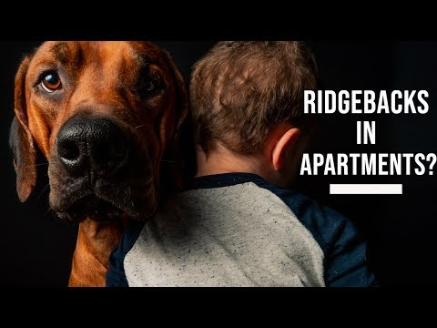 Are Rhodesian Ridgebacks Good for Apartments?