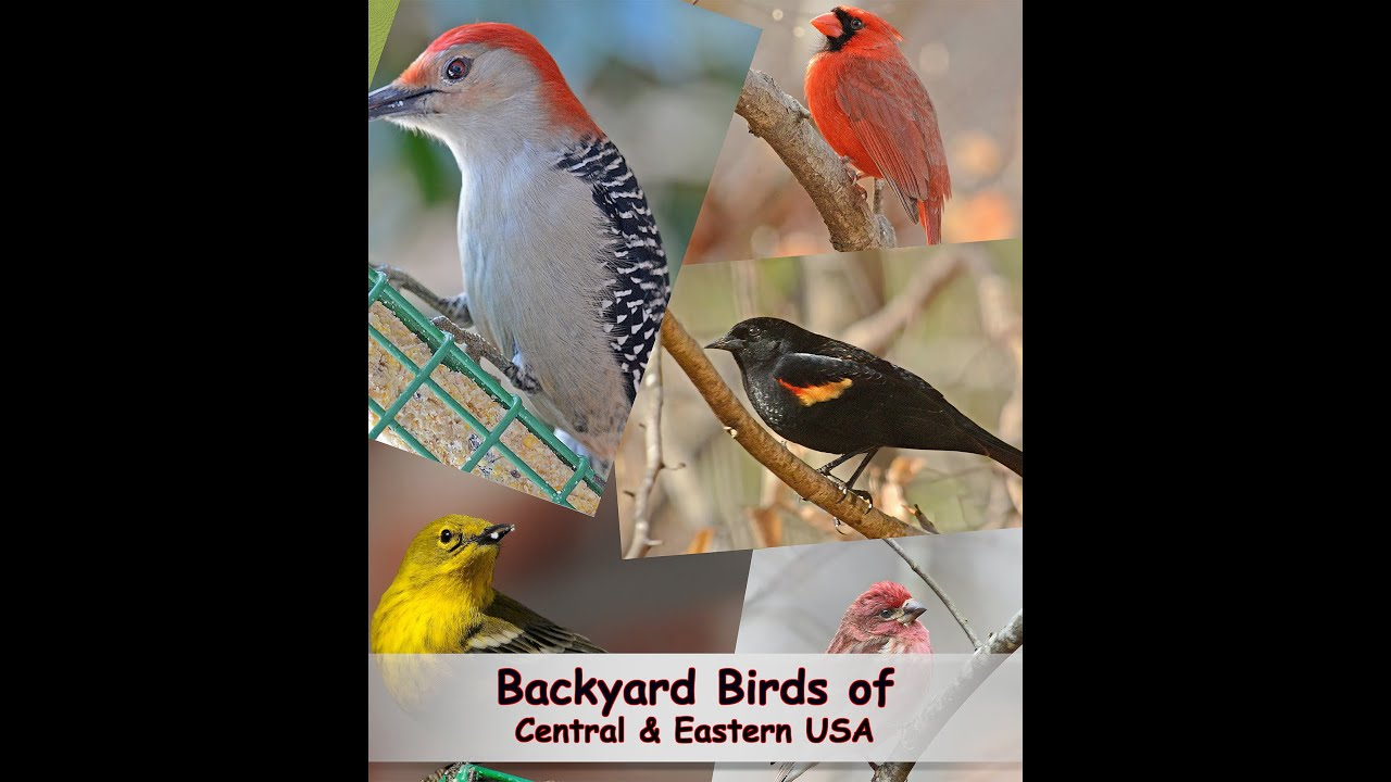 Ordinaire Identify Your Common Backyard Birds   YouTube