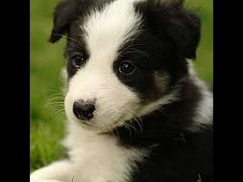 Collie Puppies For Sale In Fresno California Ca Stockton