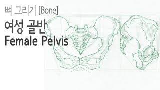 뼈(Bone)2 10 - 여성 골반(Female Pel…