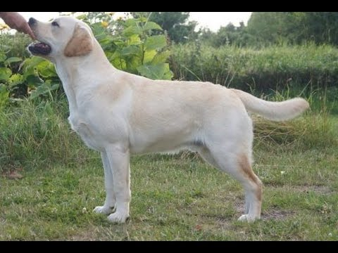 HOW TO MAKE YOUR LABRADOR PUPPY STRONG AND FIT