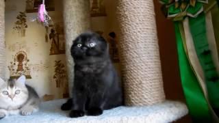 Шотландский вислоухий кот продажа. Scottish Fold male for sale for breeding