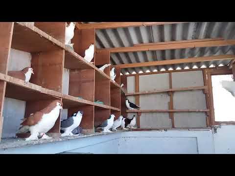 My Lahore pigeons loft