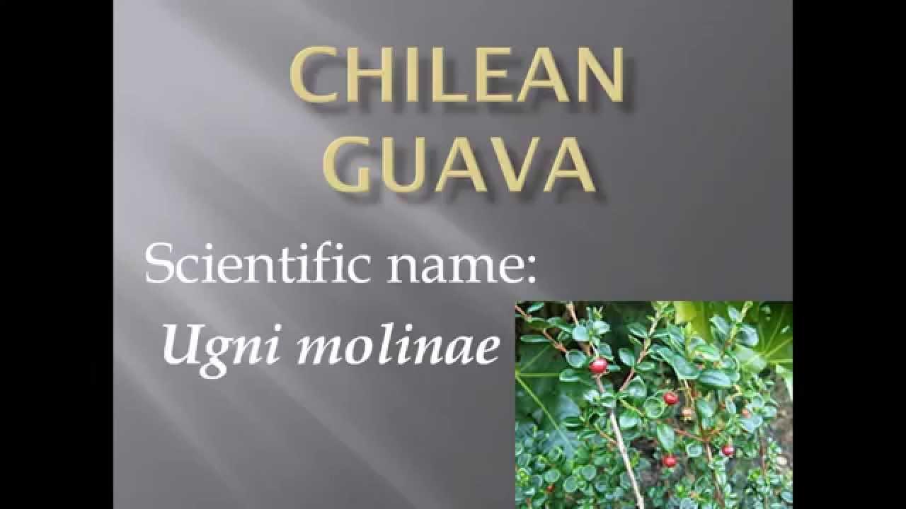 Pronunciation, Picture And Scientific Name Of Fruit Chilean Guava