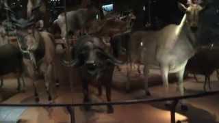 動物の剥製 東京 上野 国立科学博物館
