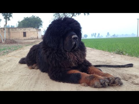 Lion head tibetan mastiff dog in punjab | +919417730301 | slow motion | #tibetanmastiff