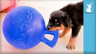 Adorable Rottweiler Puppies Play With Blue Jolly Ball! - Dog Toy