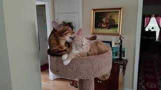 Bengal Cat Loving His New House Cat Best Friend lol!