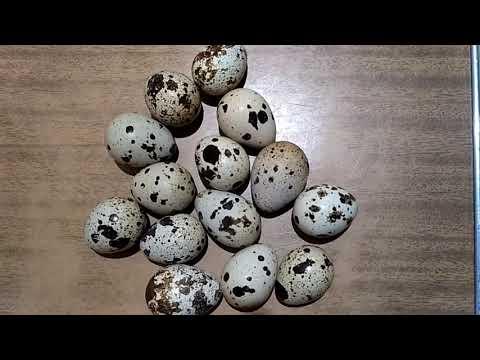 Вопрос: Почему в яйцах перепёлки не бывает сальмонеллы?