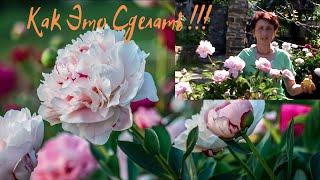 О секретах пышного цветения пионов.Как продлить фазу цветения !!!