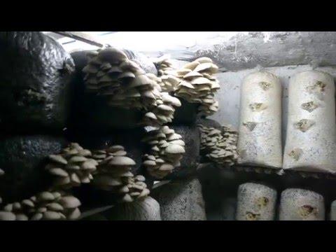грибы вёшенки в мешках видео
