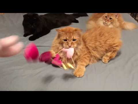 Maine Coons Playing!