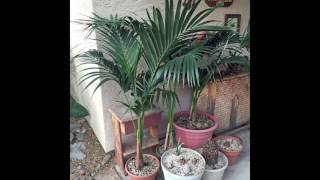 How to divide and repot Kentia palms