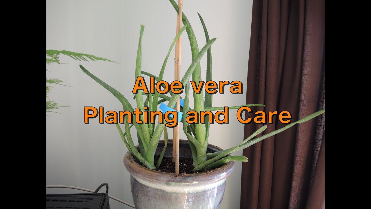 Aloe Vera - Repotting and Care