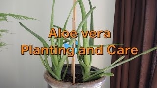 Aloe Vera - Repotting and Care