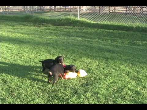 Doberman Puppies Attacking A Big Chicken, AKC Doberman Puppies For Sale