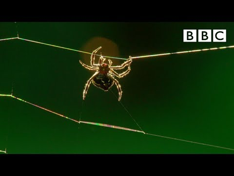 Amazing spider baffles scientists with huge web | The Hunt - BBC