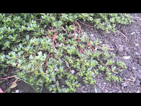 Съедобные растения. Портулак огородный / Portúlaca olerácea