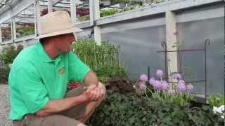 Spring Perennials Series: Drumstick Primrose and Helleborus