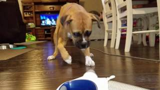 Playful Boxer Dog vs Vacuum Cleaner