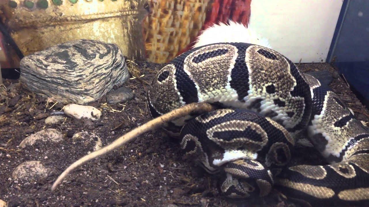 Сонник кормлю змею в своем доме