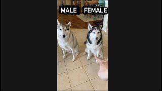 Male Husky vs. Female Husky DOG TRICKS!!! #shorts