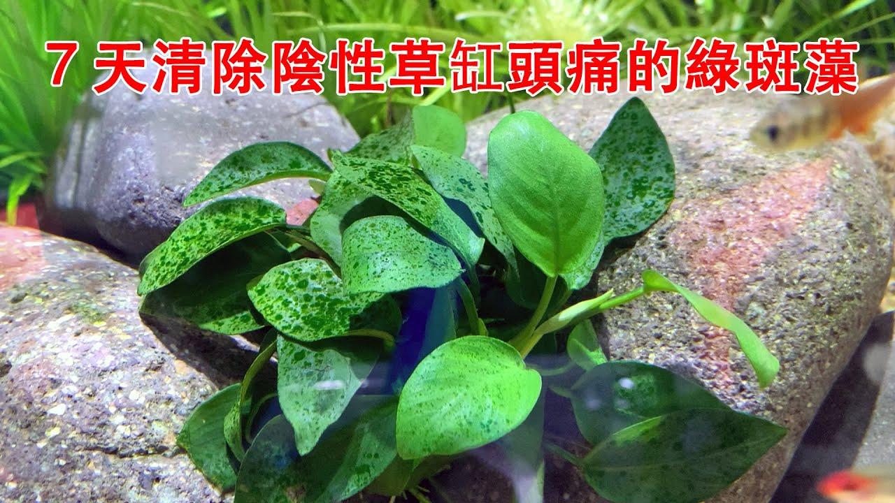 7天清除陰性草缸頭痛的綠斑藻(綠塵藻),再頑固也不怕|The green spot algae were removed in 7 days.