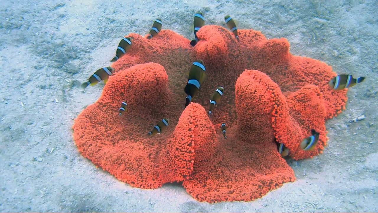 Red Carpet Anemone Off Kwaj S Emon Beach Youtube