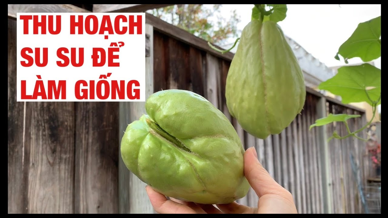 #67 Thu Hoạch Trái Su Su làm giống   Cây Su Su   propagating Chayote   Chayote Plant   Cuộc Sống Mỹ