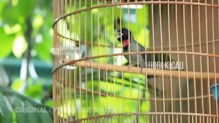 Gambar cover Suara Burung Samyong Gacor Memang Lantang Tiada Duanya