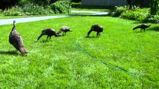 Wild turkeys   US Northeast   AUG2013