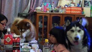 手作り餃子でシベリアンハスキー達と食事会の様子 Chinese dumpling Dog...