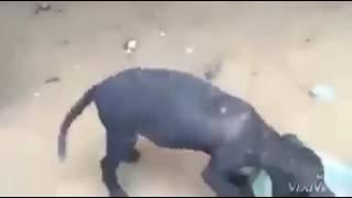 chú chó vừa ăn vừa nhảy cứ sung