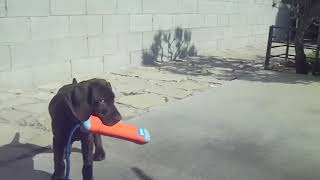 A German Shorthaired Pointer is learning to fetch. http://scalb.com...