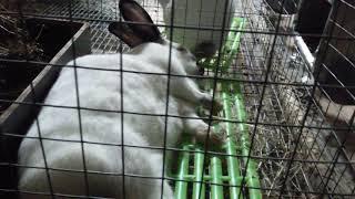 Крольчиха начинает рожать.