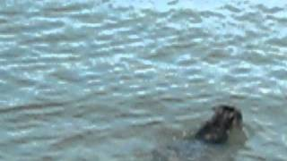 Miniature Schnauzer Ella Swimming Exercise