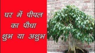 Don't plant peepal tree at home in Hindi घर पर पीपल का पौधा शुभ या अशुभ।