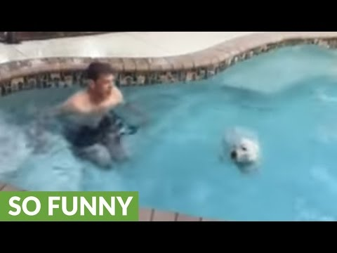West Highland Terrier does cannonball into pool
