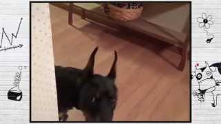 Веселые животные.   Смешная  Собака  смотреть всем!!!!