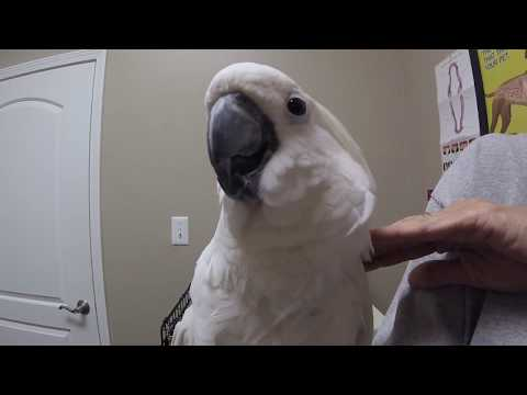 Cockatoo In For Health Check Up To Meet The Dr And Retrim The Wings