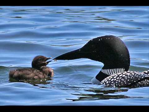 Common Loon Birdcalls