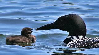 Common Loon Birdcalls