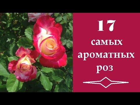 ❀ 17 самых ароматных роз