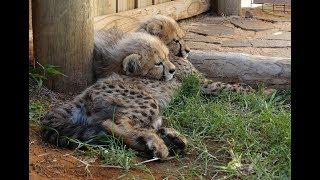 Gepard - najszybsze lądowe zwierzę świata