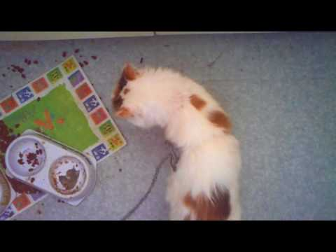 Walking The Cat With a Leash (Turkish Van)