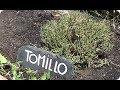 Como Y Porque Plantar Tomillo En El Huerto || La Huertina De Toni
