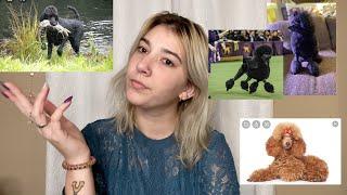 Dog Breeds  Poodles / Standard Poodle / Miniature Poodle / Toy Poodle