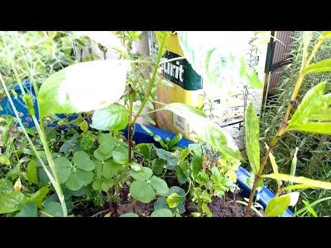 QUINTAL- Pé de QUIOIÔ brotando plantado no vaso - 100%DuCavaco